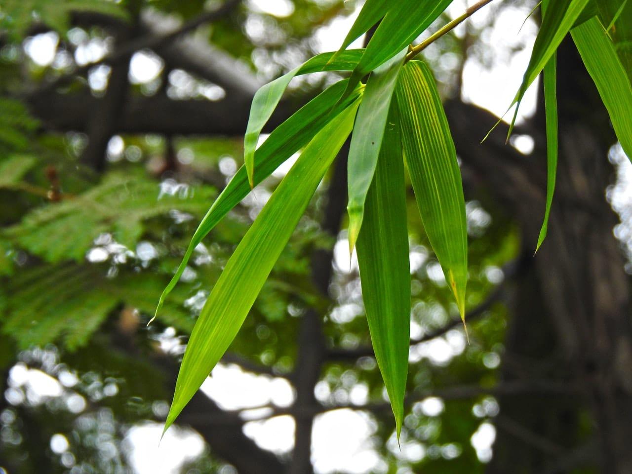 El bambú tiene hojas largas y verdes