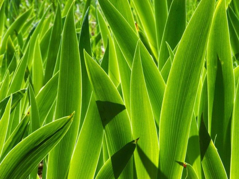 Las hojas del lirio común son largas y lanceoladas