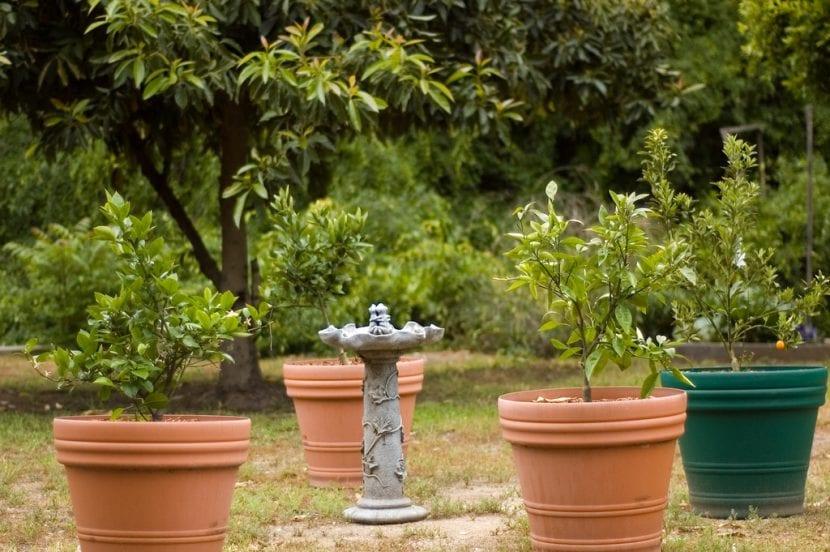 El kumquat se puede cultivar en maceta