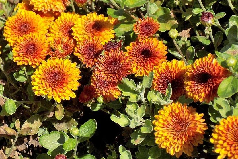 Se trata de una planta anual que crece entre 20 y 50 centímetros