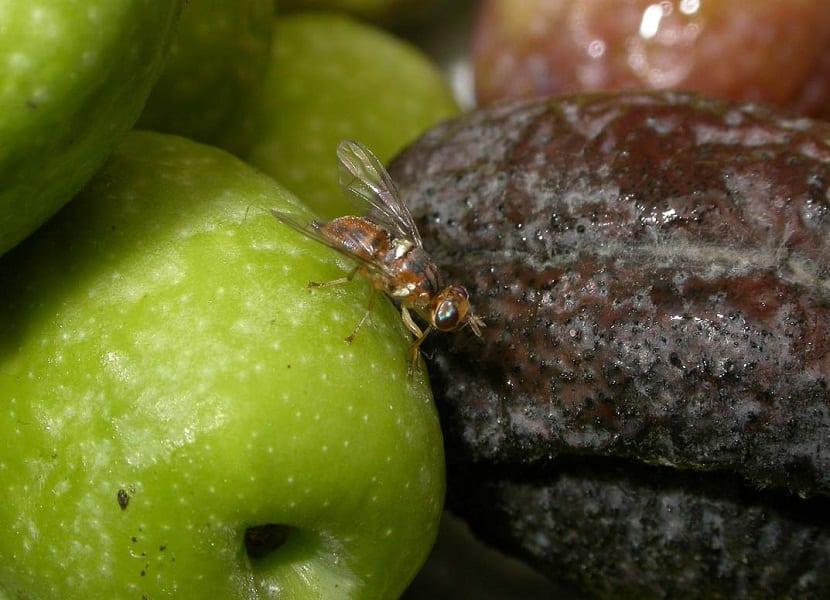 Caracteristica de la mosca del olivo