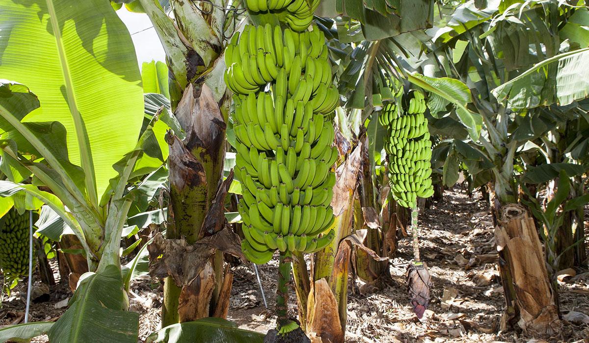 Los plátanos se recolectan en verano