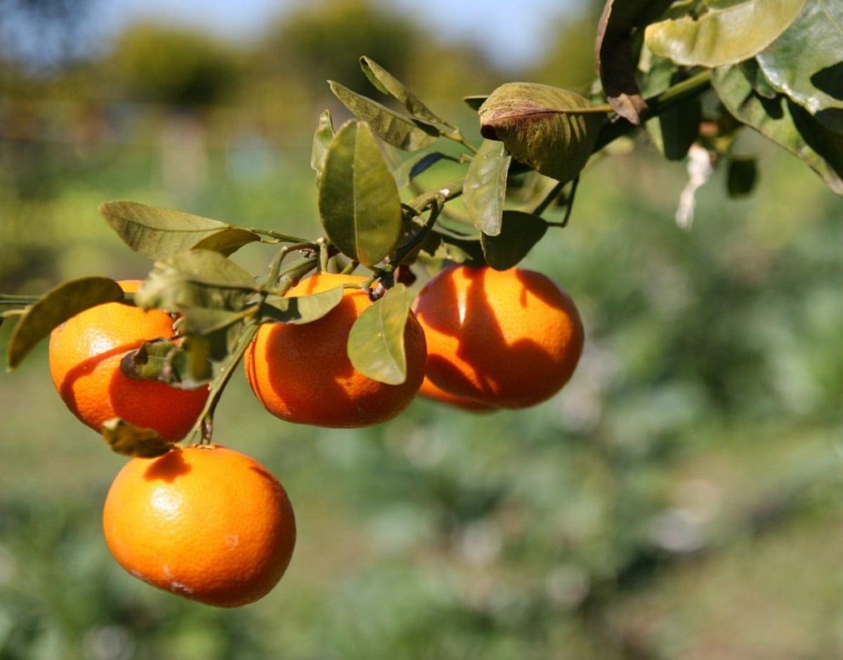 Las naranjas tienen un sabor dulce