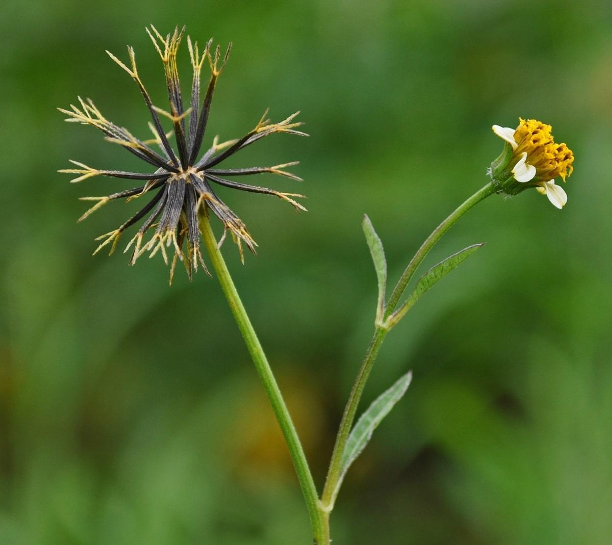Reproducción de plantas en cultivos mediante semillas