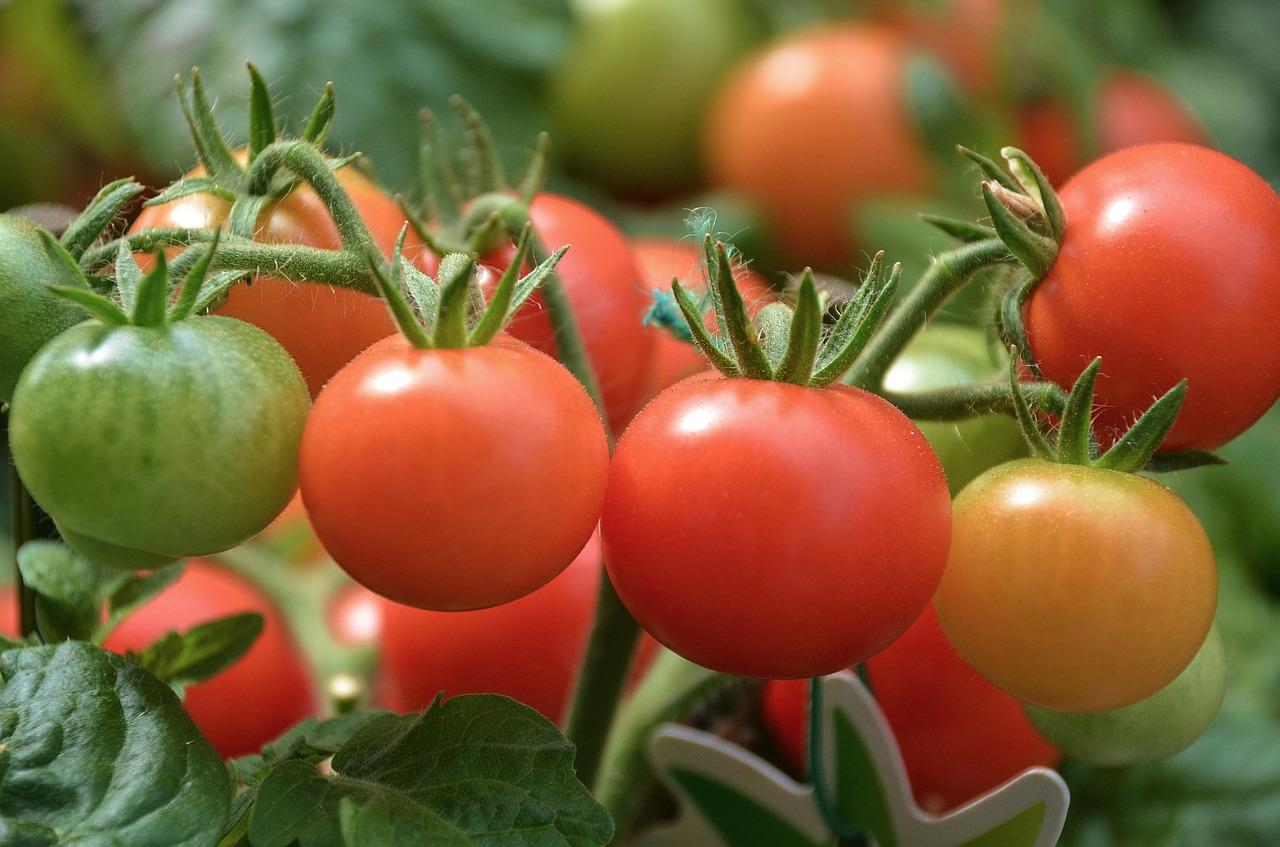 Los tomates son plantas de mucho riego