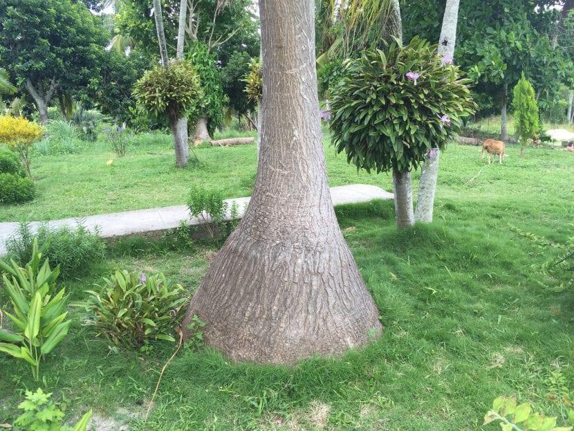 Vista del tronco en forma de botella de una Beaucarnea.