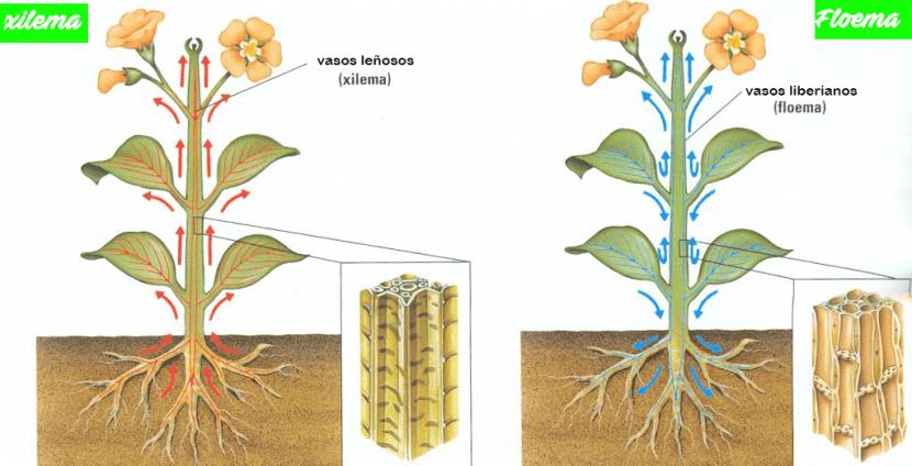 Xilema y floema