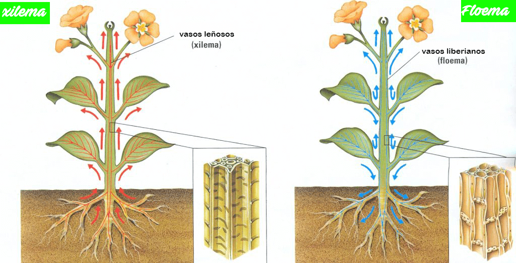 Xilema y floema, dos partes esenciales de las plantas