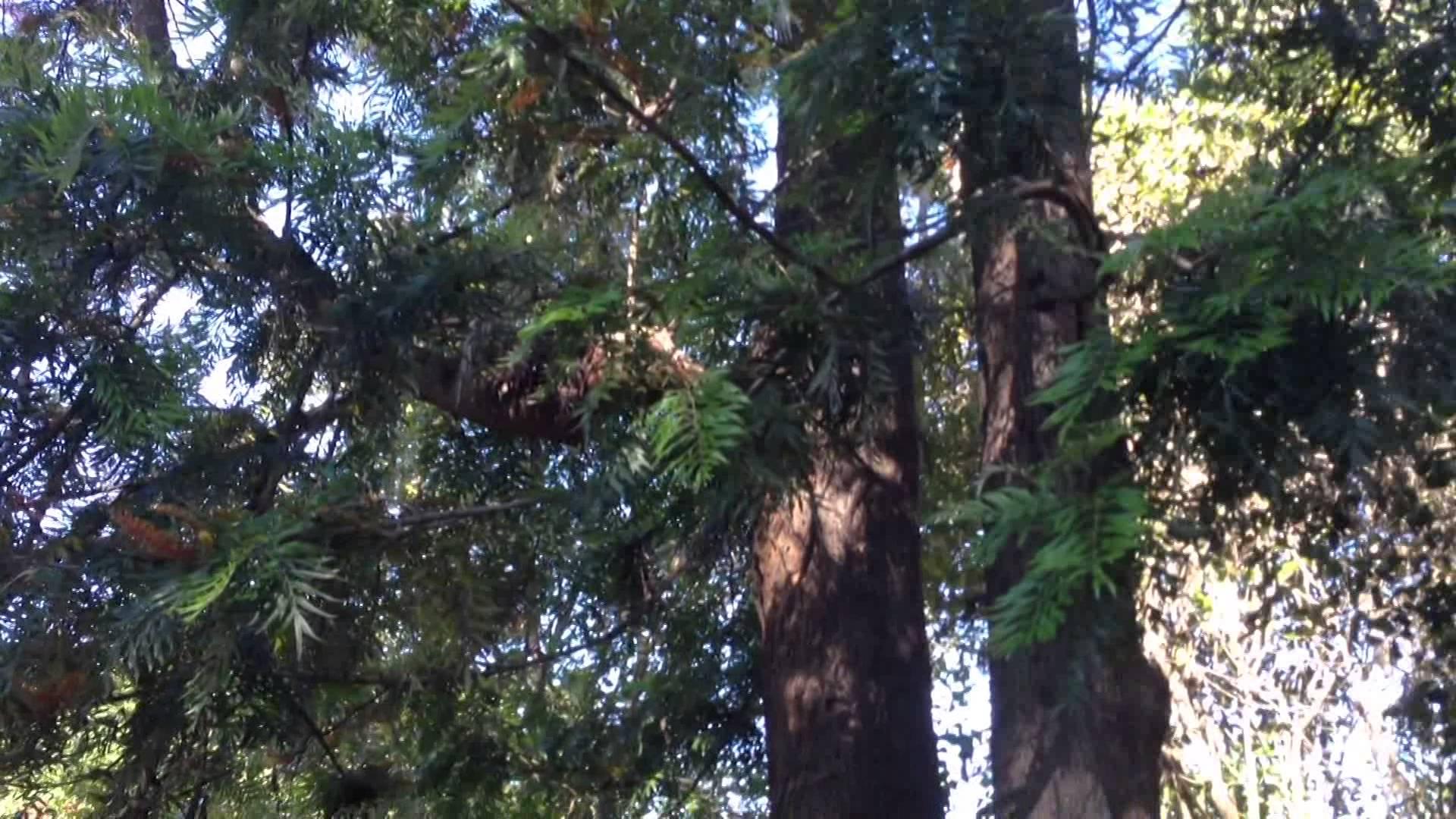 Rboles de sombra de r pido crecimiento - Arce arbol variedades ...