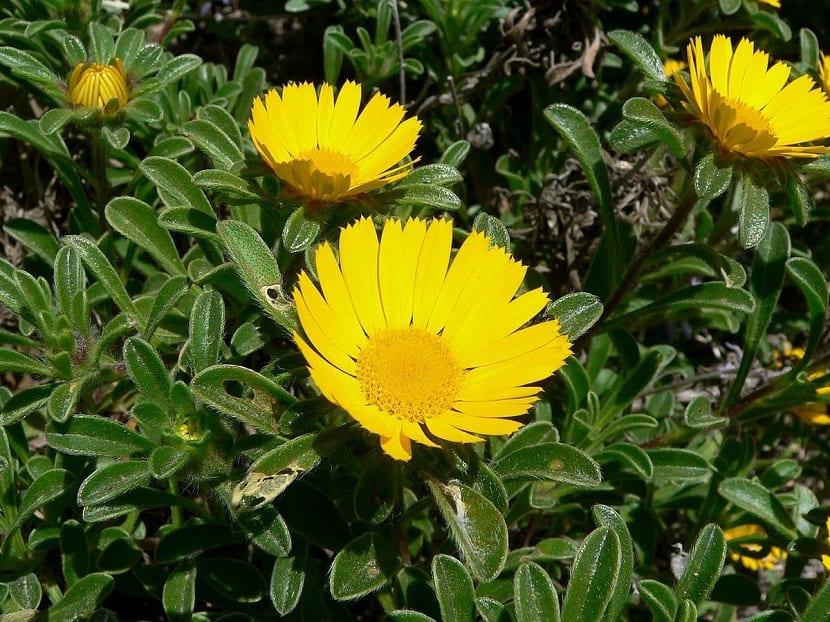 Esta es una planta de aproximadamente unos 2-25 cm de altura