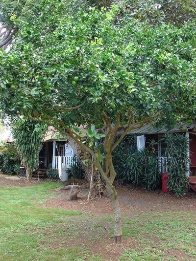 Ejemplar de Citrus aurantiifolia en un jardín