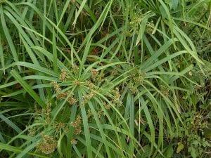 Vista del Cyperus alternifolius