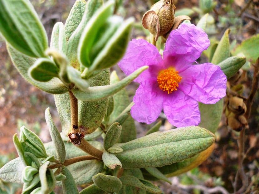 Flores de la jara de Cartagena