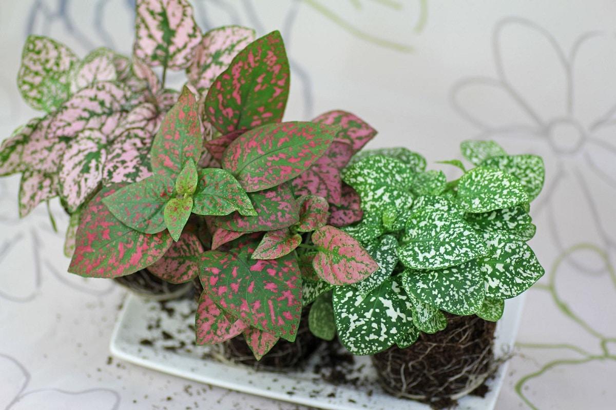 El hipoestes es una planta herbácea