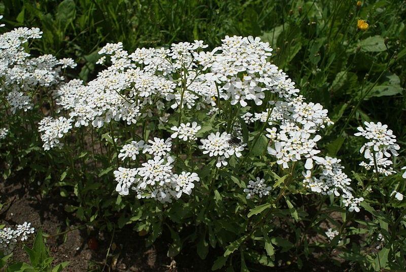 Flores de Iberis amara