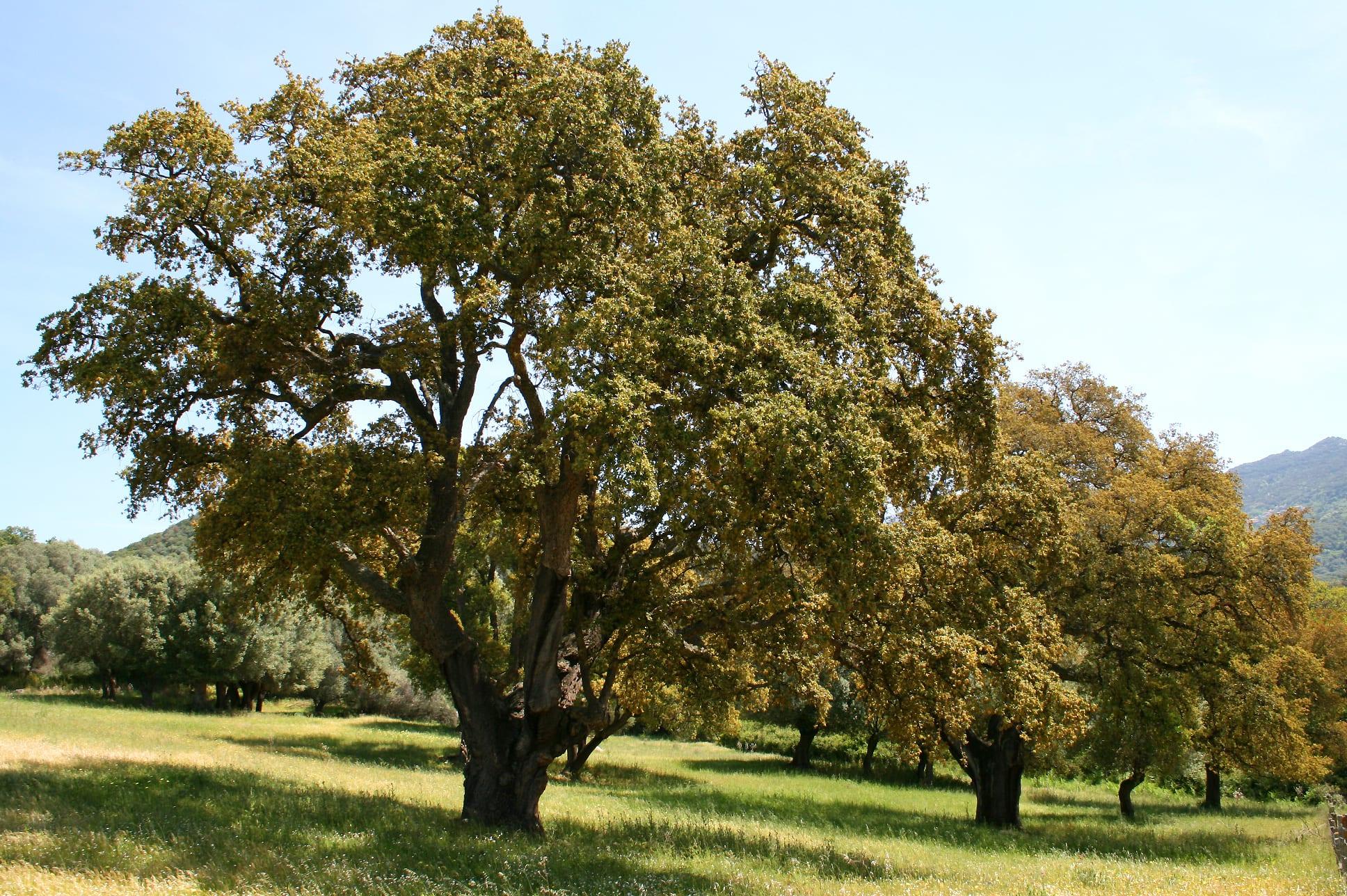 Vista de un magnífico ejemplar de alcornoque o Quercus suber