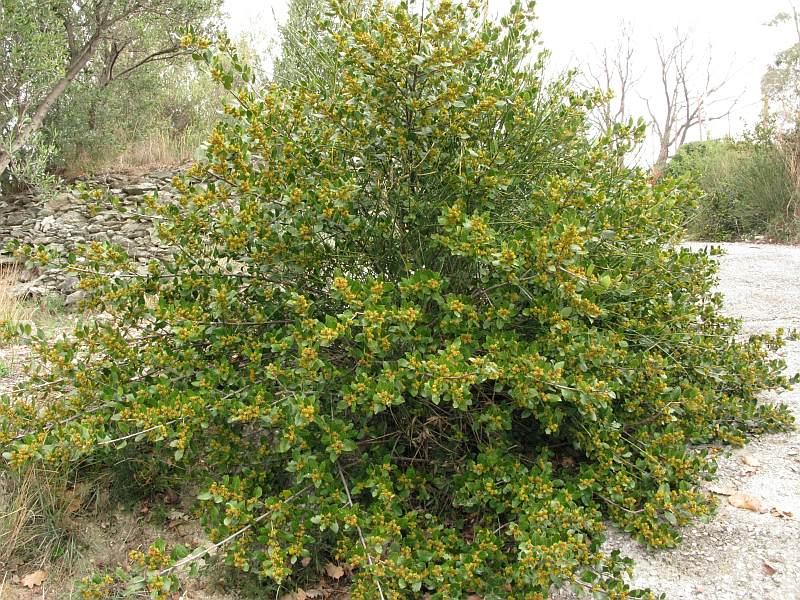 El aladierno es una planta muy ornamental