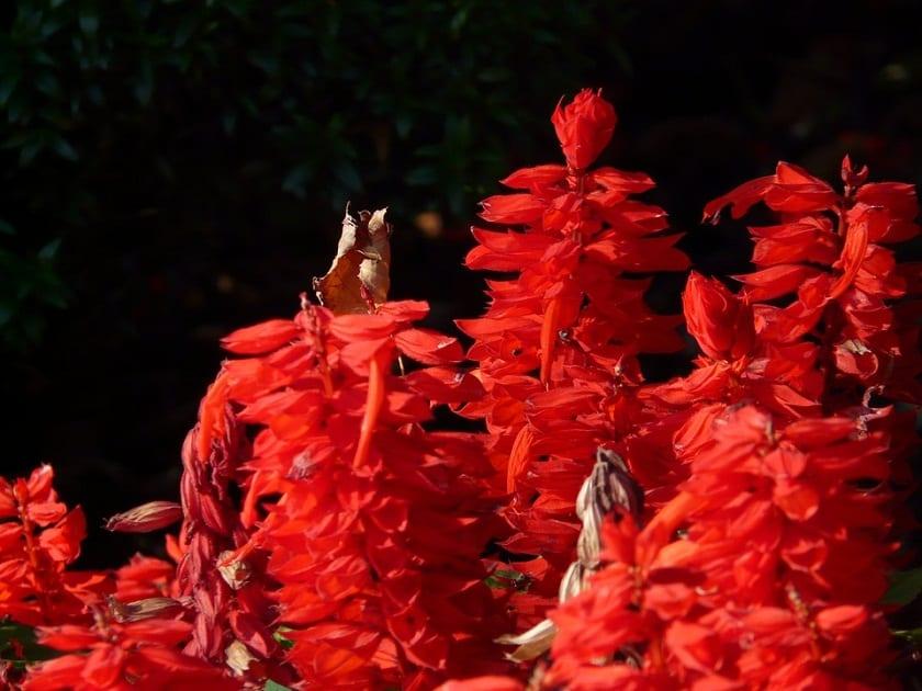 Cuidados de la planta Salvia Splendens