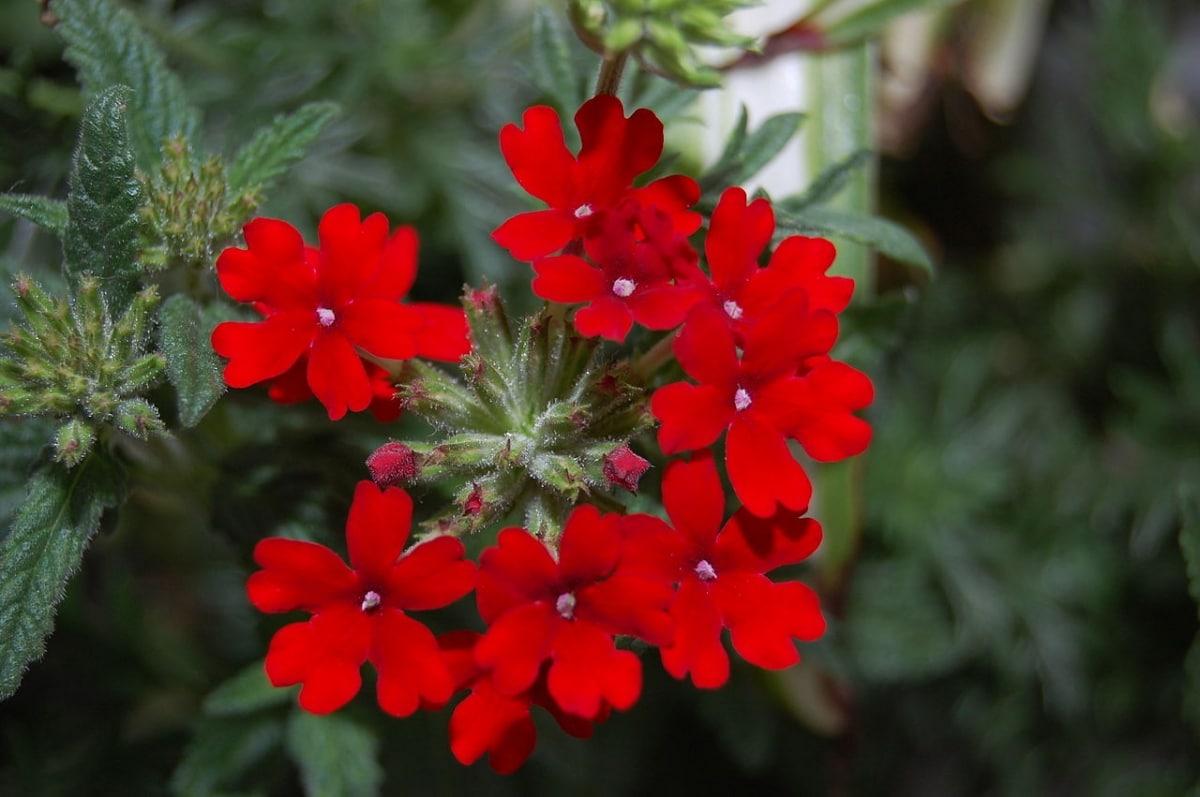 La planta Verbena produce flores pequeñas