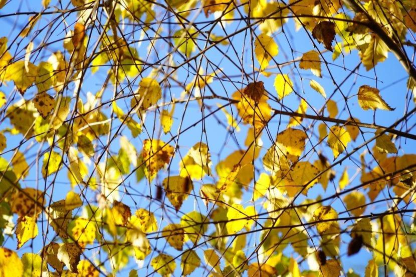 El abedul durante el otoño se vuelve amarillo
