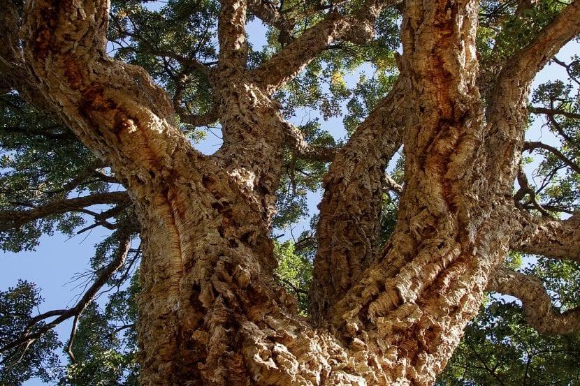 Vista del tronco del alcornoque, del que se extrae el corcho