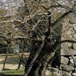 Árbol de Hiroshima