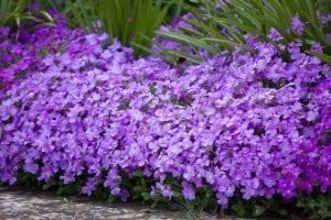 Planta de Aubretia con flores