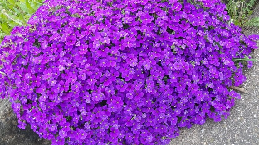 Flores de Aubretia