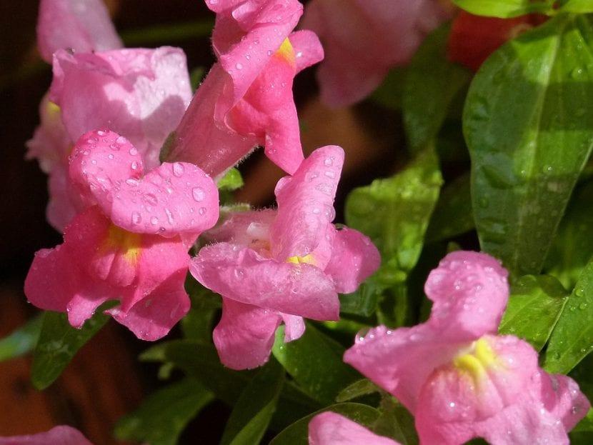 La Boca de Dragón es una flor muy agradecida