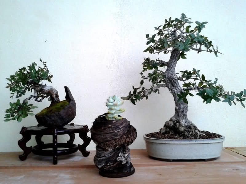 El aladierno puede trabajarse como bonsái