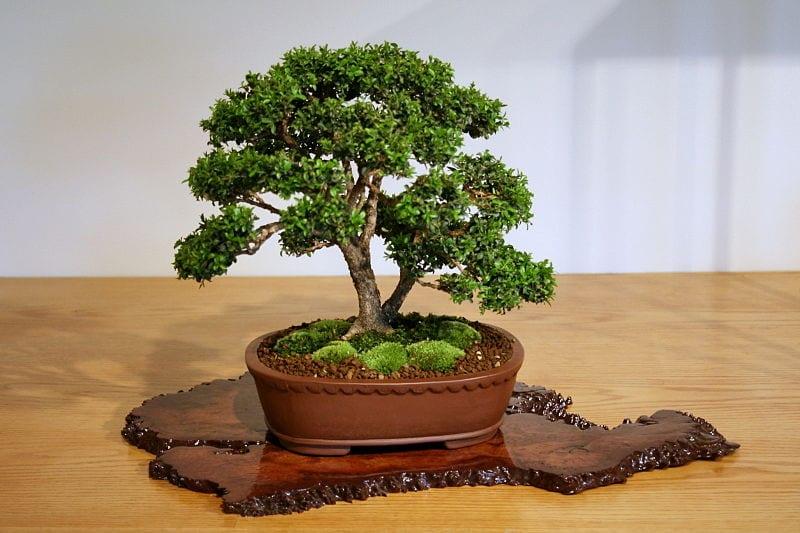 El boj es una planta de hojas pequeñas perfecto para bonsai