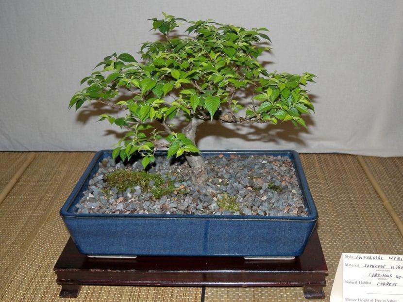 El carpe también se puede trabajar como bonsái