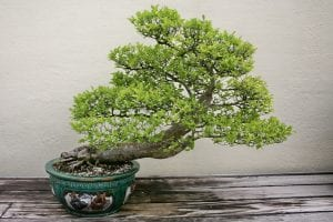Precioso bonsái de olmo que puedes tener por unos mínimos cuidados