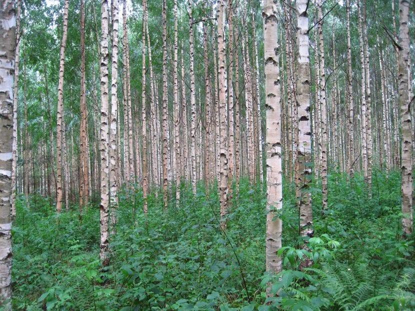Vista de un bosque de abedul