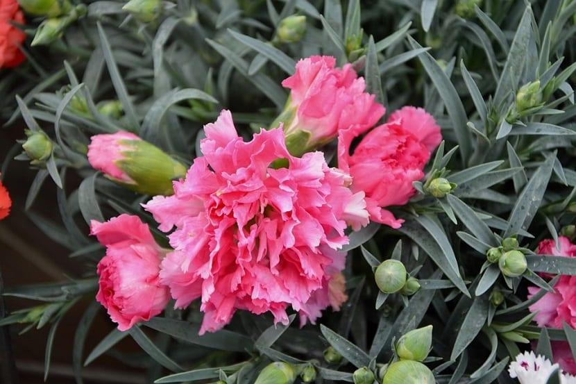 Los claveles poseen mucho aroma