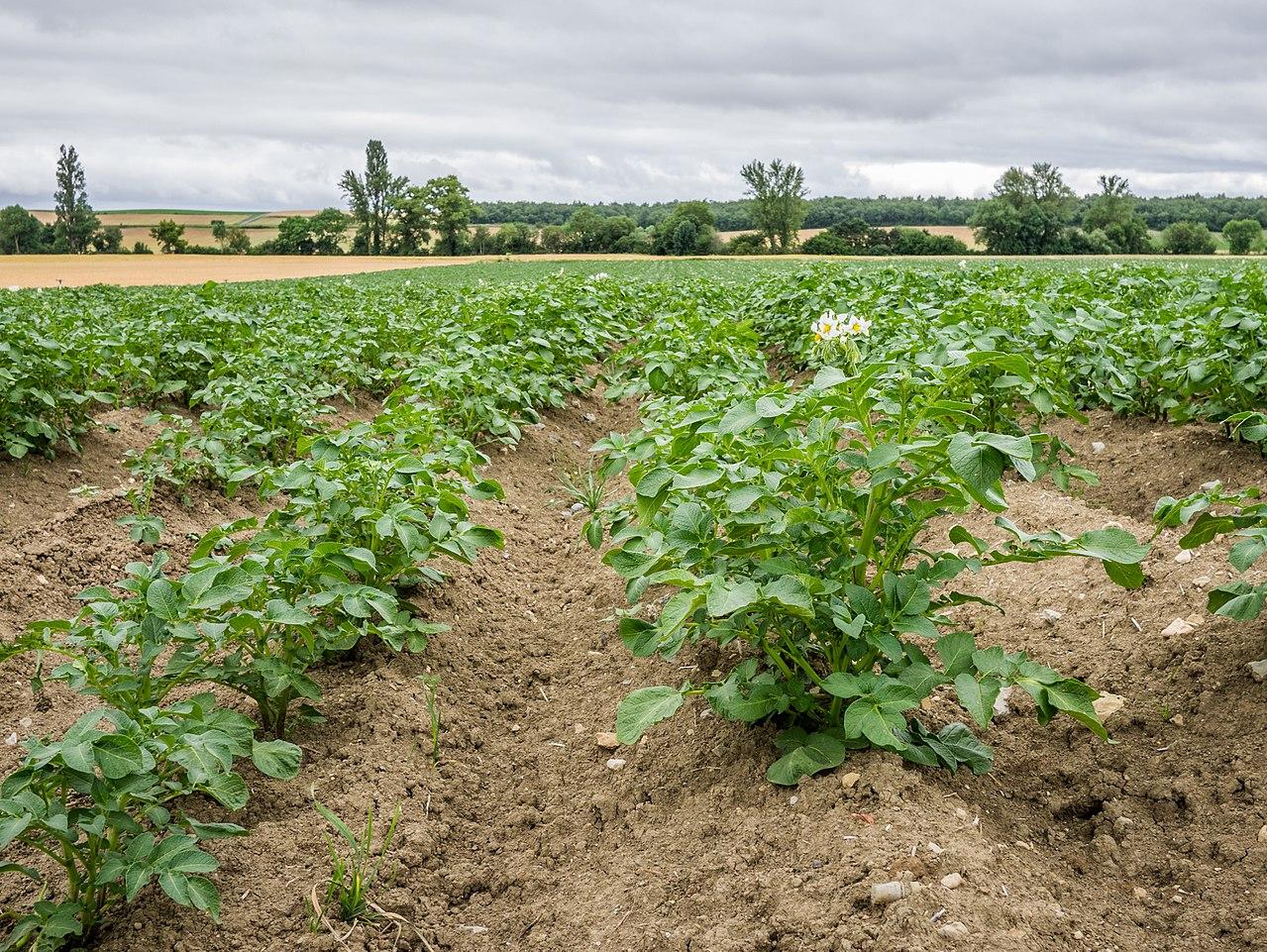 Las patatas se han de regar muy seguido