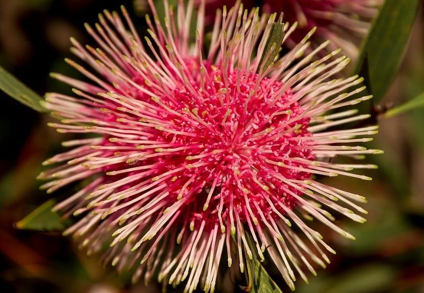 La Hakea Laurina es un arbusto o también un árbol erguido