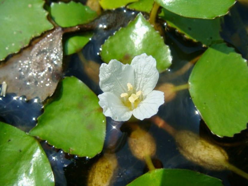 Flor de la castaña de agua