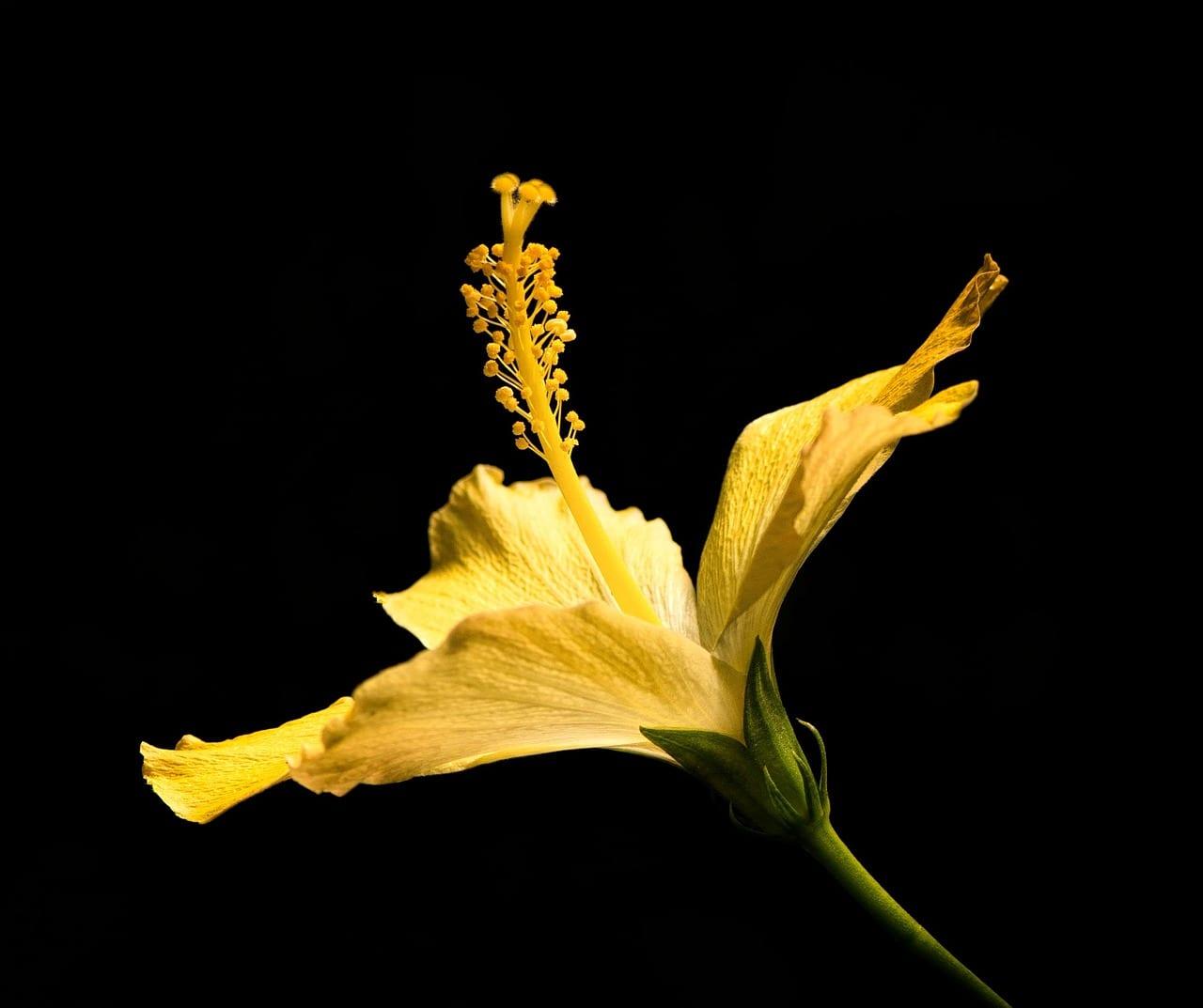 Flor amarilla de hibisco