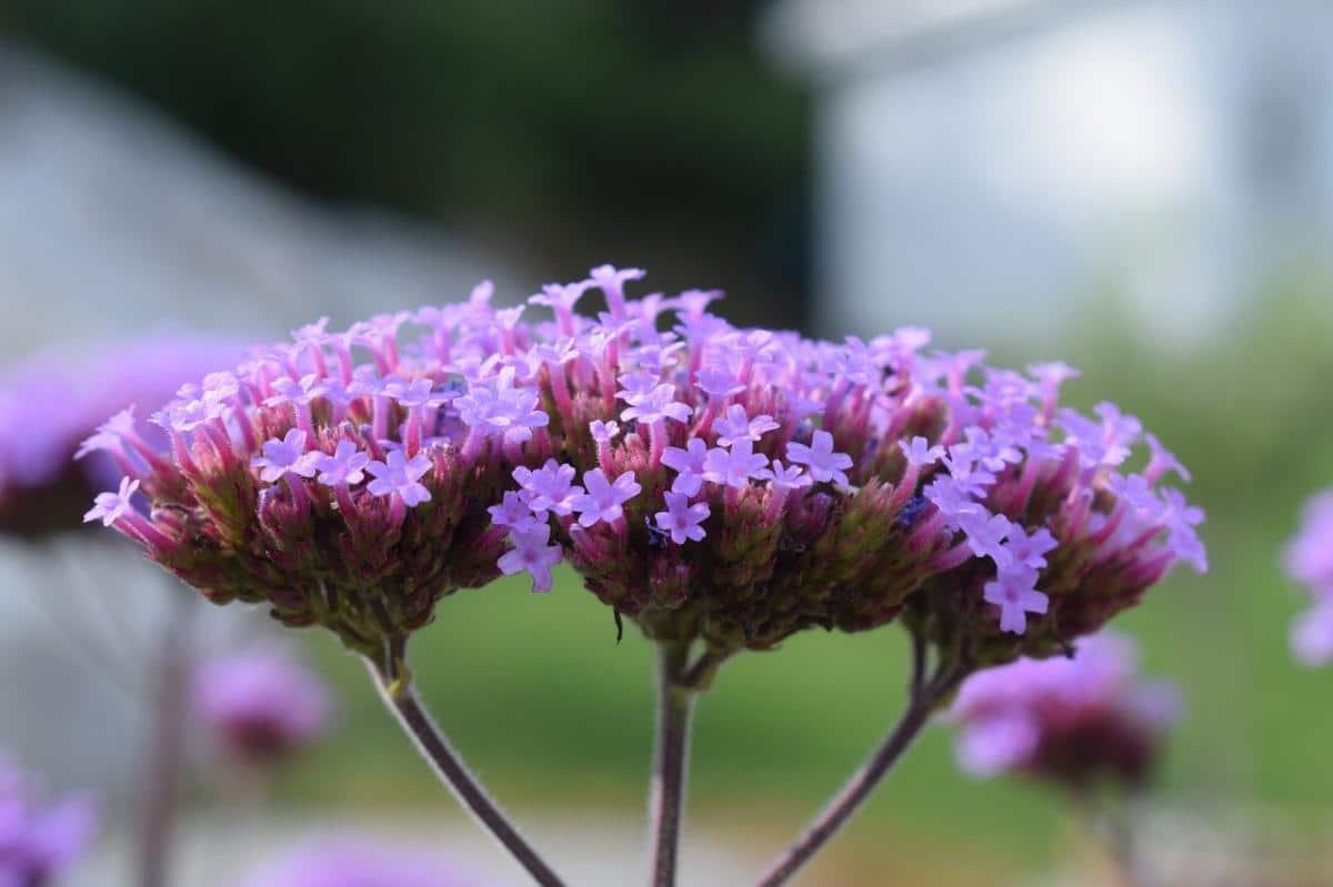 La verbena es una planta vivaz
