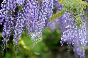 La Glicina, una planta trepadora para tu jardin
