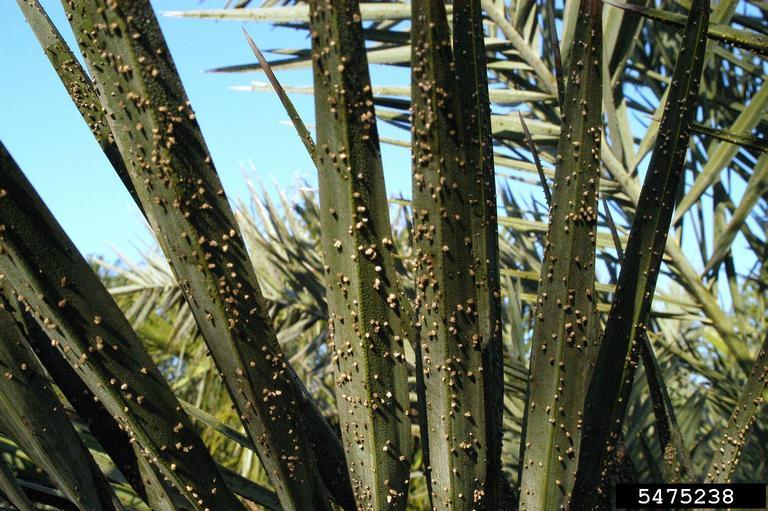 Graphiola phoenicis