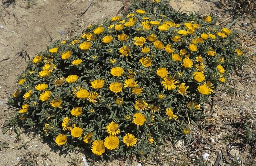 Origen de la planta Asteriscus maritimus