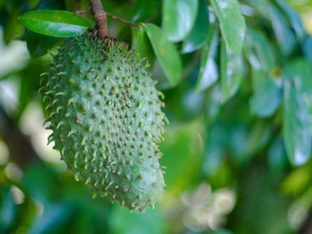 La guanabana es una fruta tropical