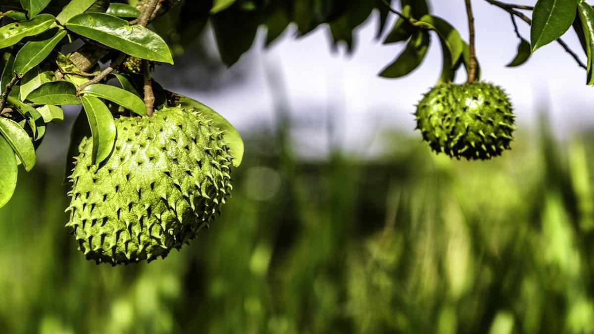 La guanabana es un fruto grande
