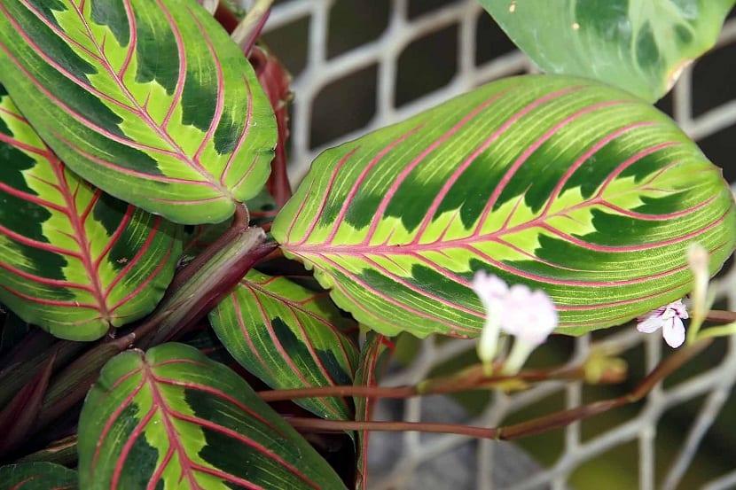 Resultado de imagen para Maranta tricolor