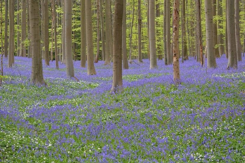 Cuidados y cultivo del Jacinto de los bosques