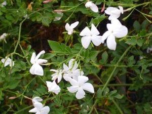 Vista de las hojas y flores del Jasminum officinale