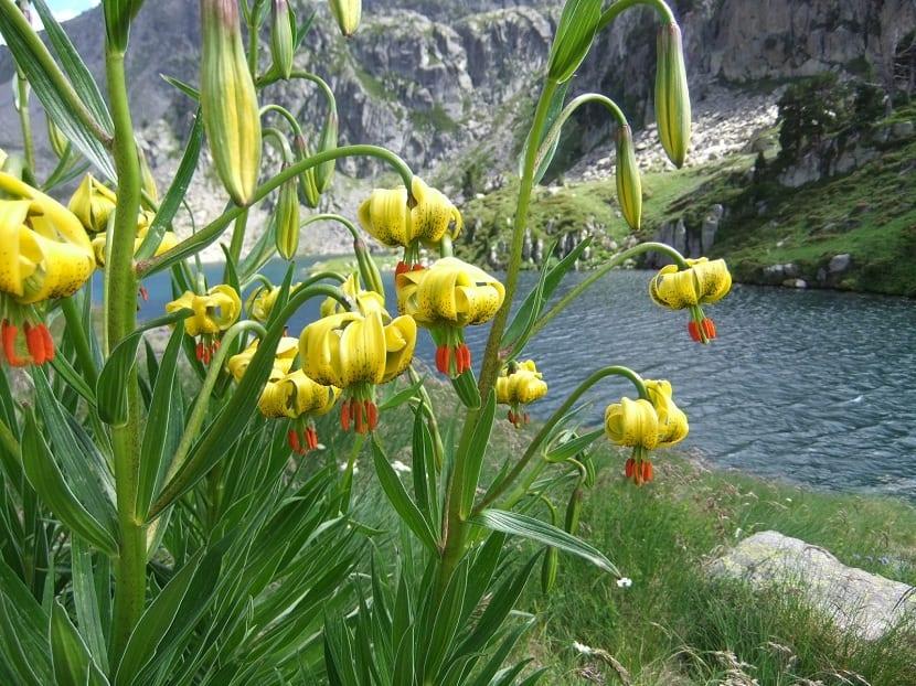 lilium pyrenaicum