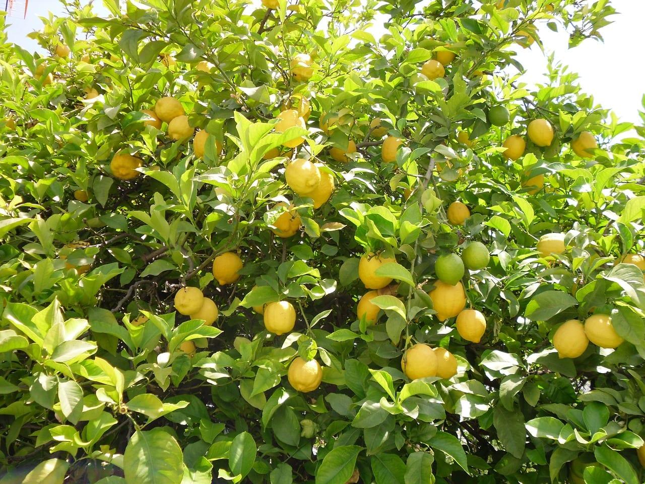 Limonero, un frutal muy interesante para jardines